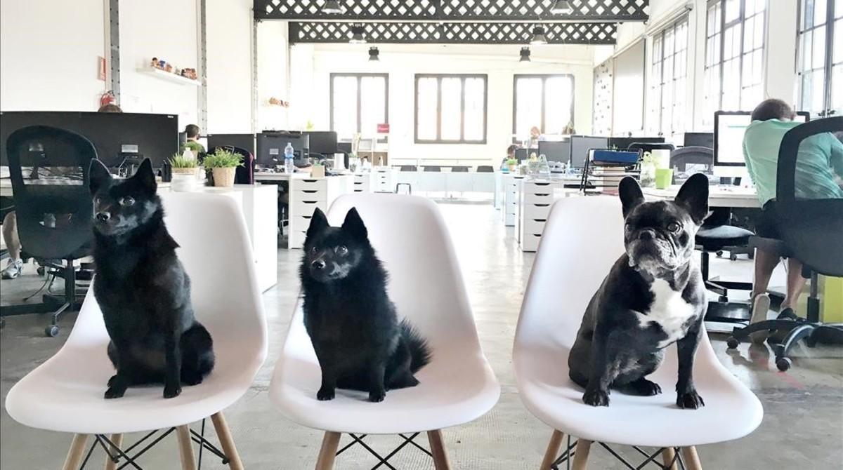 Tres perros bien asentados,en laoficina deThe Mamasú Agency.