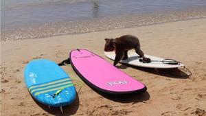 Un koala se pasea por una playa australiana en Apolo Bay.