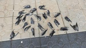 Milers d'orenetes mortes després de refugiar-se del fred a les ciutats