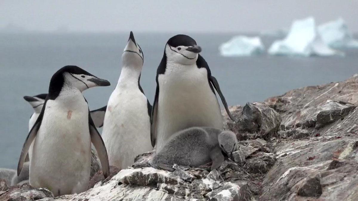 Ejemplares de pingüinos barbijo.