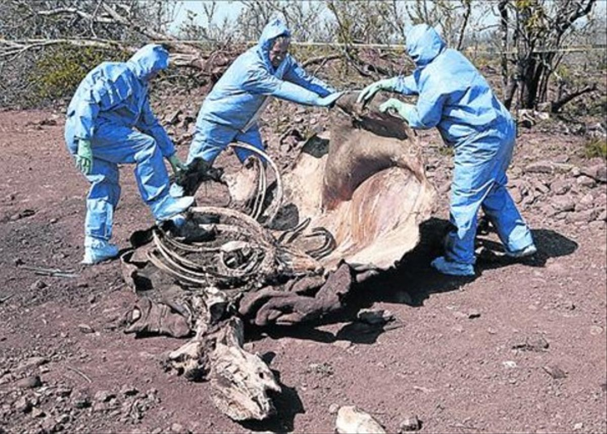 Técnicos sudafricanos examinan los restos de un rinoceronte abatido.