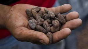 Un hombre muestra unas semillas de cacao secas