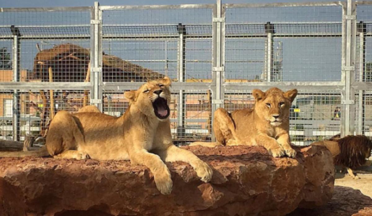 Las dos leonas en el refugio del parque Malkia en Eslovaquia.