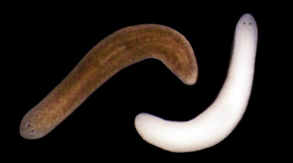 Dos ejemplares de la planaria Schmidtea Mediterranea una de la cual ha cambiado de color tras la exposición prolongada a la luz.