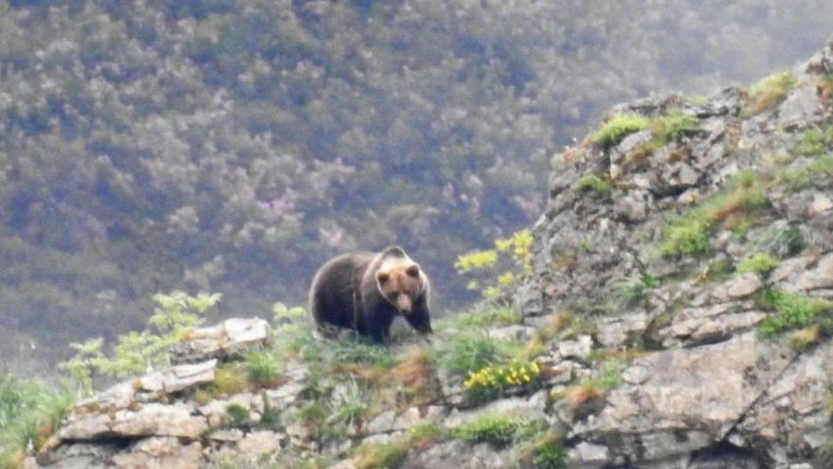 Primer ataque de oso a un humano en Asturias en décadas: una anciana, herida