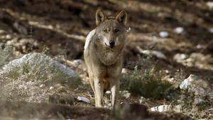 Ejemplar de lobo ibérico fotografiado en la Sierra de la Culebra, en Zamora.