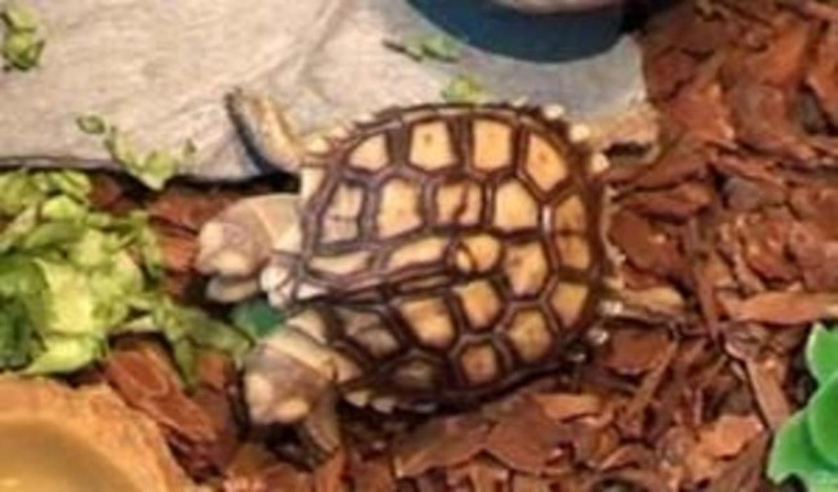 La tortuga Magda y Lena en su terrario.
