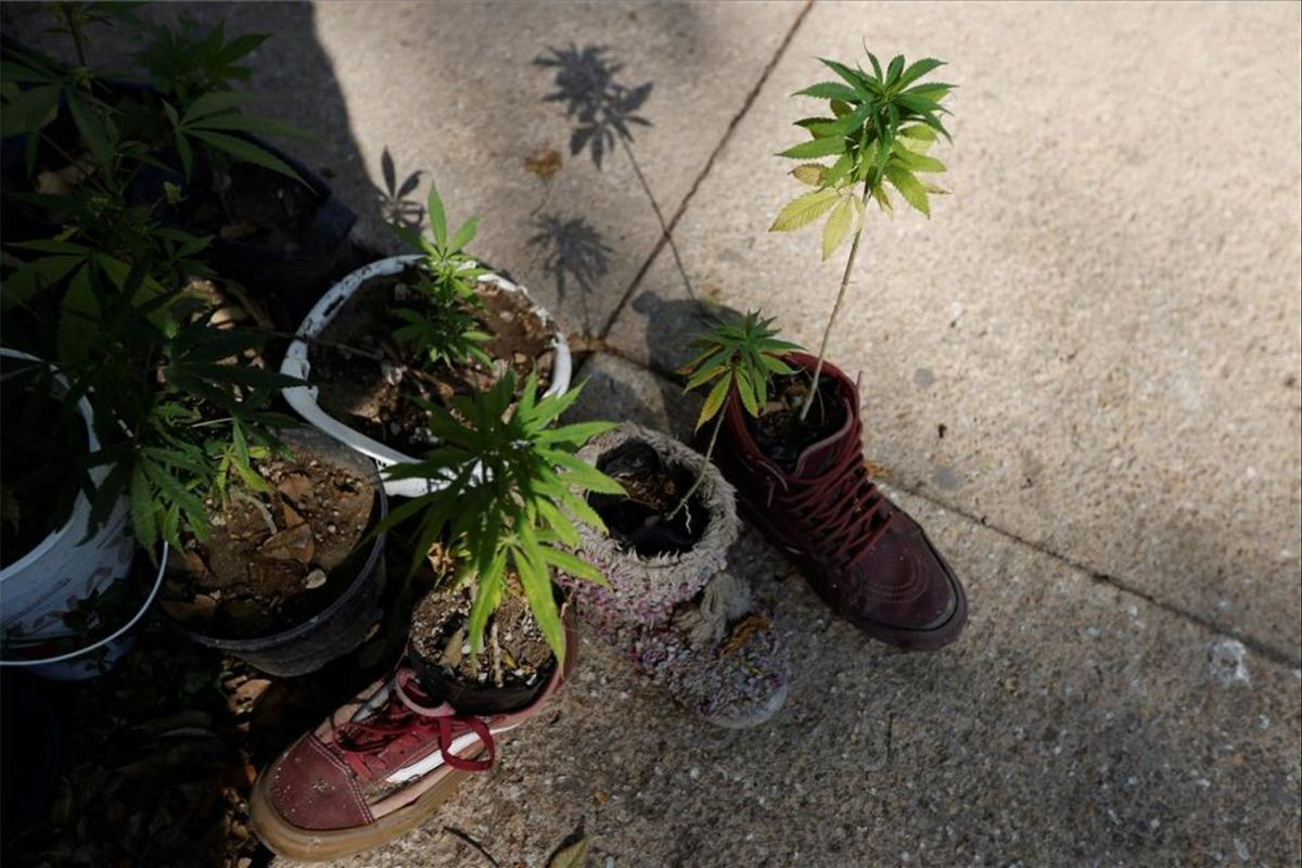 Plantas de marihuana para uso personal.
