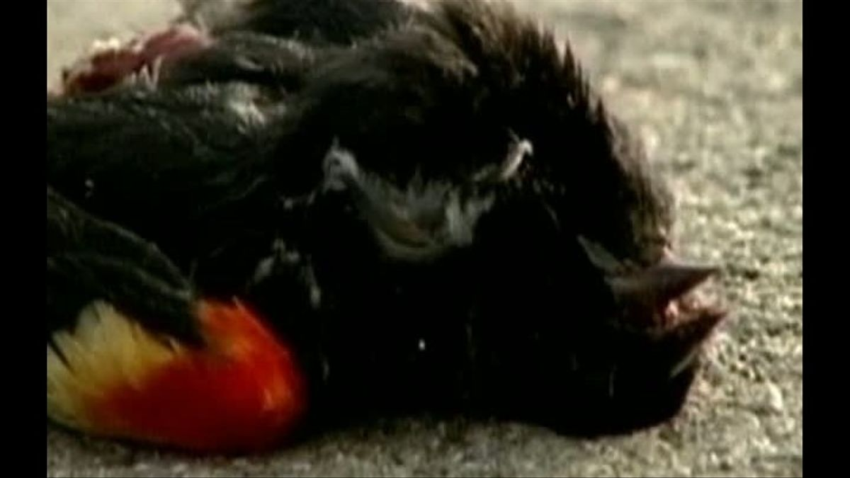 Luisiana se suma a  la misteriosa muerte de pájaros en Estados Unidos.