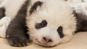 Un oso panda del zoo de Berlín sufre un ataque de hipo.