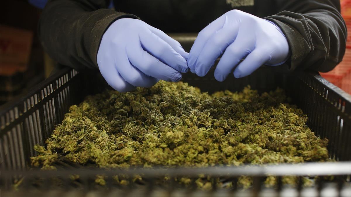França obre la porta a legalitzar l'ús mèdic del cànnabis