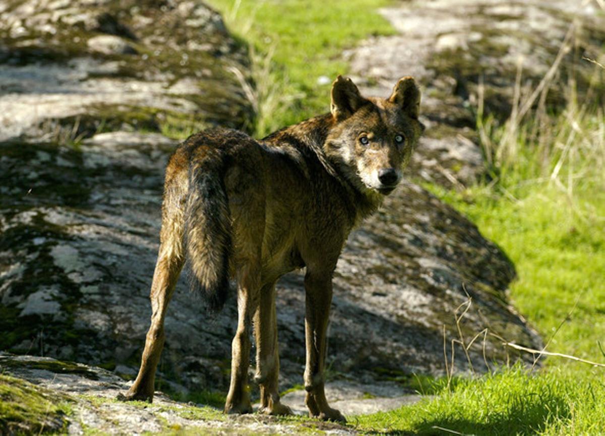 Un ejemplar de lobo ibérico en la sierra de Chapinería, al oeste de Madrid, fotografiado en el 2003.