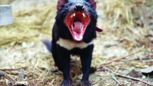 Un ejemplar adulto de diablo de Tasmania, carnívoro marsupial del tamaño de un pequeño perro.