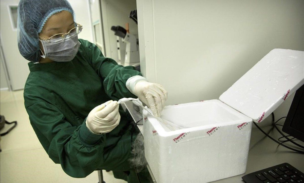 Zhou Xiaoqin coloca uno de los embiones en nitrógeno líquido.