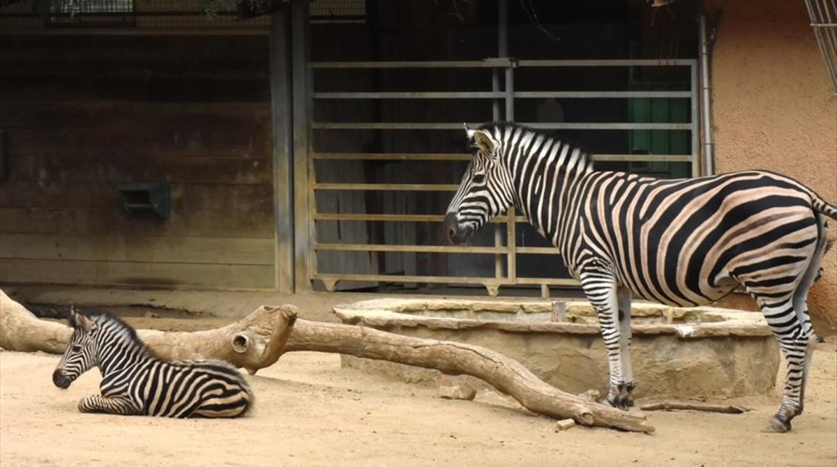 Una hembra de cebray su hija recién nacida, en elespacio de sabana del zoo de Barcelona.