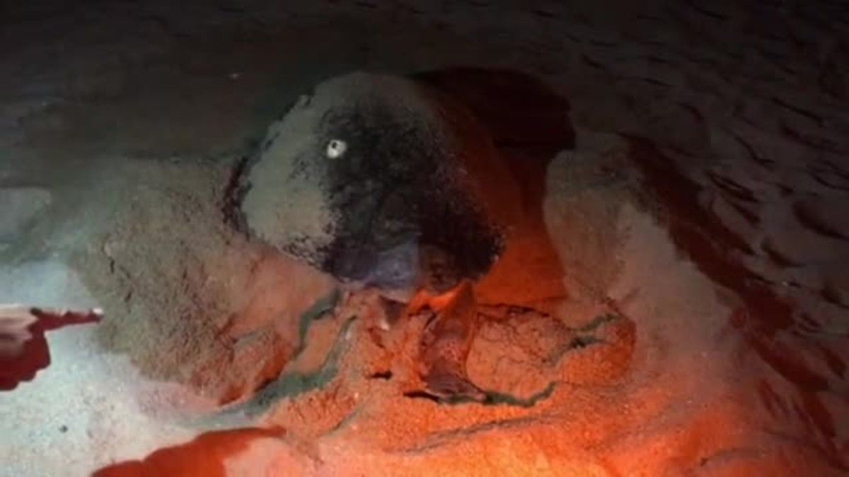 Una tortuga marina de la especie babua ha puesto huevos en el localEl Txiringuitu de la playa de Sant Simó de Mataró.