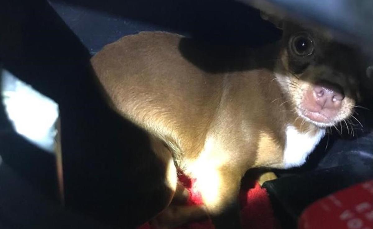 El perro hallado por los Mossos d'Esquadra dentro de un ciclomotor en El Vendrell.