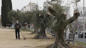 Los olivos centenarios recuperados por el Guinardó, esta semana.