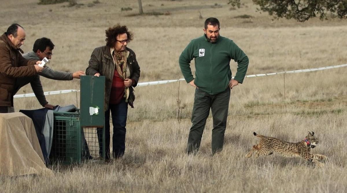 Liberación de un ejemplar lince nacido en cautividaden la Sierra Morena de Ciudad Real, el pasado febrero.