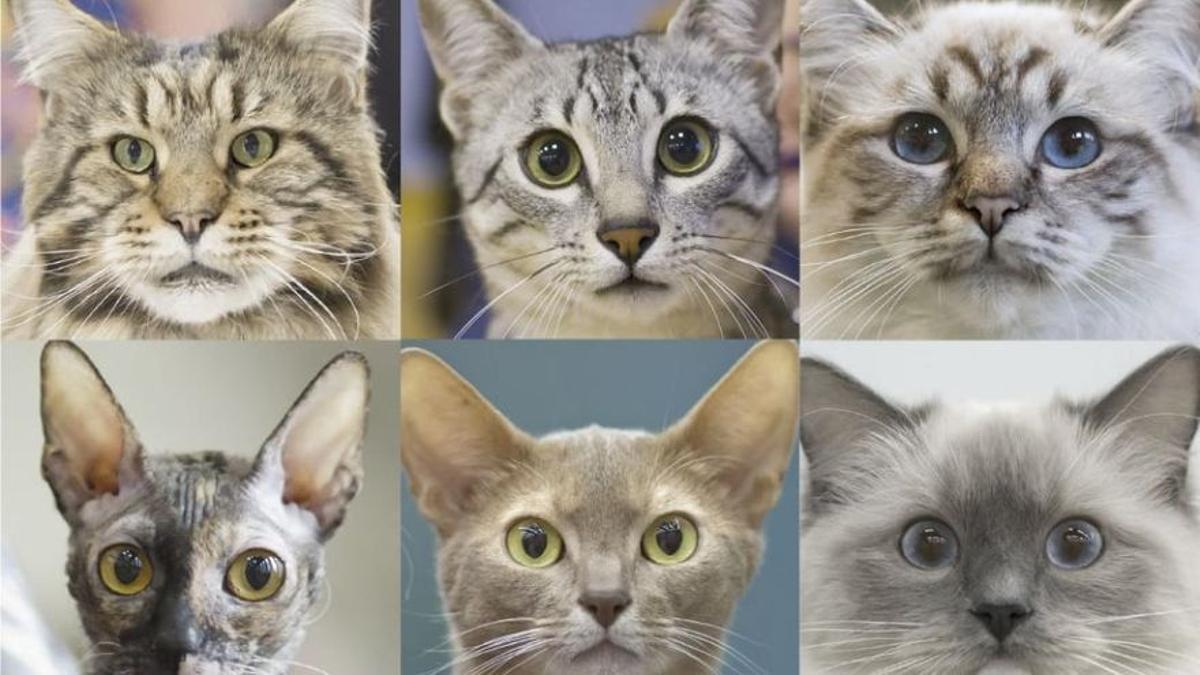 Expresiones faciales de gatos.