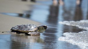 Programa para la recuperación de la tortuga boba en el Mediterráneo