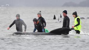 Operació de rescat per salvar 180 balenes encallades a Austràlia | VÍDEO