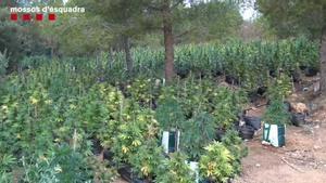Desmanteladas dos macroplantaciones de marihuana en el Perelló y Alcanar.