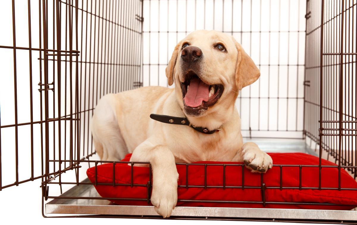 Un cachorro de un perro labrador.