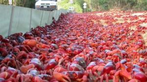 Clones de un cangrejo mutante inundan un cementerio de Bélgica.