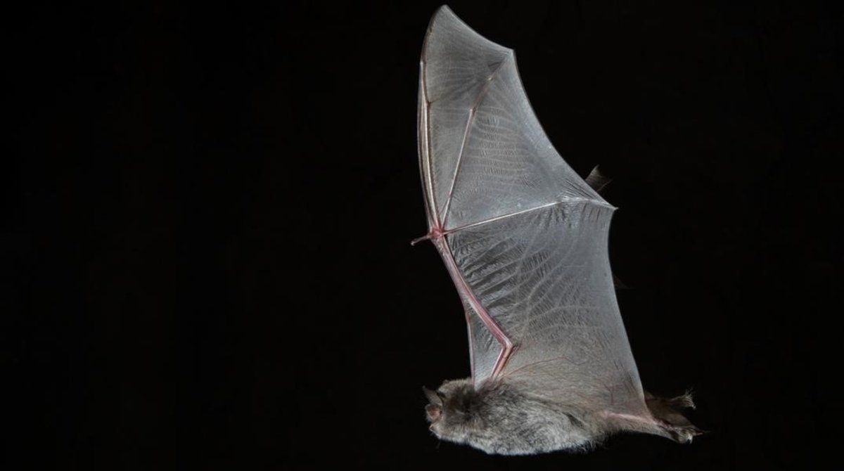 Un murciélago.