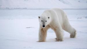 Un oso polar camina sobre el hielo buscando alimento