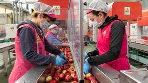 Varias trabajadoras de una cooperativa agraria de Cieza separadas por mamparas, con guantes y mascarilla.