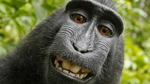 La famosa autofoto del macaco Naruto que 'rompió internet' hace unos años.