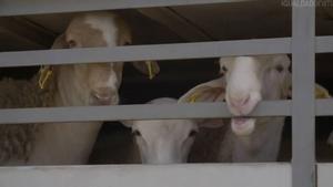 Activistes denuncien la «brutalitat» que pateix el bestiar espanyol en el seu viatge al Pròxim Orient