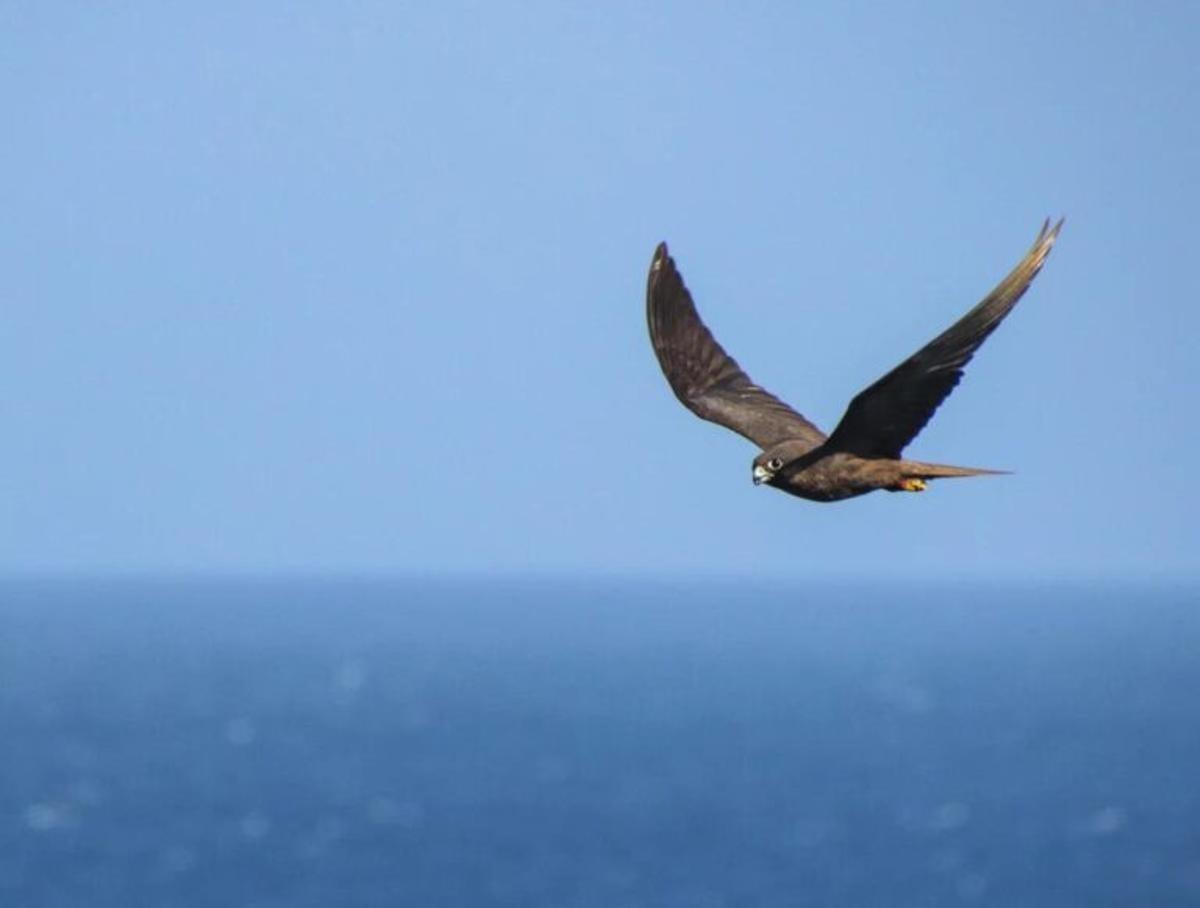 Descubren cómo las aves terrestres cruzan el océano abierto