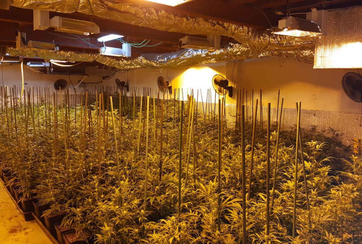 La policia decomissa 1.040 plantes de marihuana a Gavà