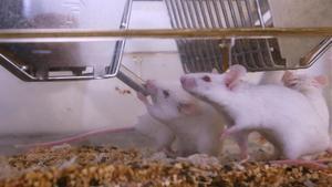Ratones en un laboratorio de investigación biomédica.
