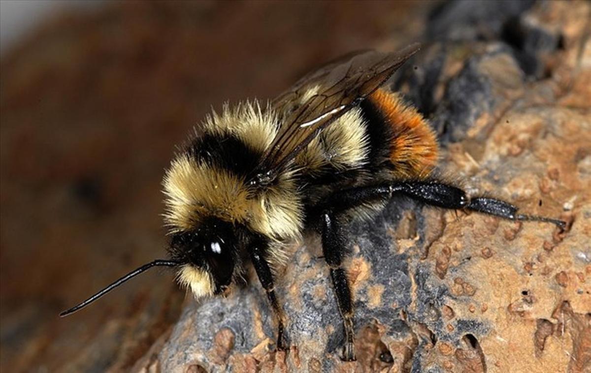 Abeja de la especie 'Bombus cullumanus', amenazada de extinción en Europa.