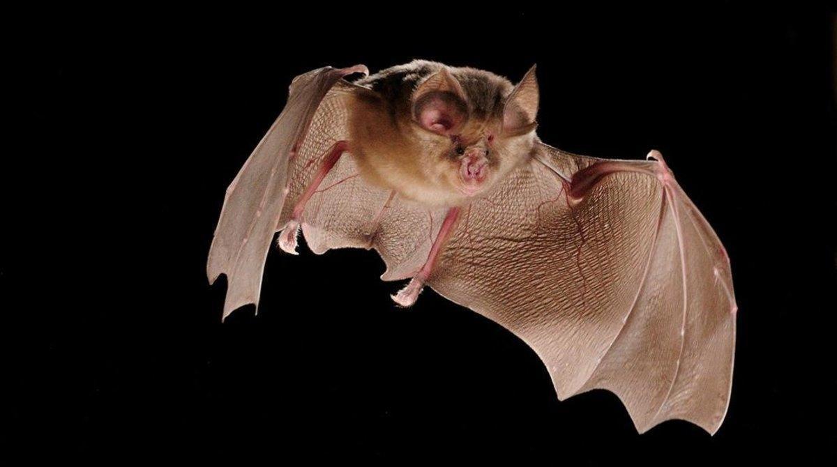 Por qué el murciélago porta los coronavirus pero no muere por ellos?