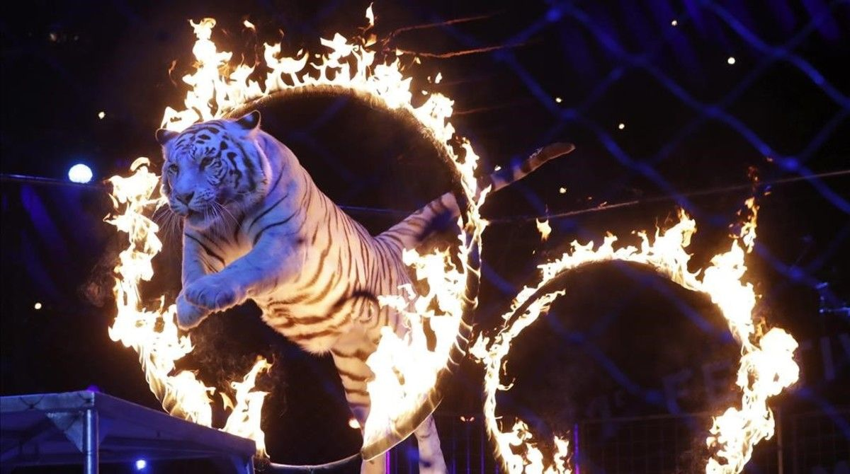 Número con tigres en el festival Internacional de Circo de Montecarlo, el pasado día 25.