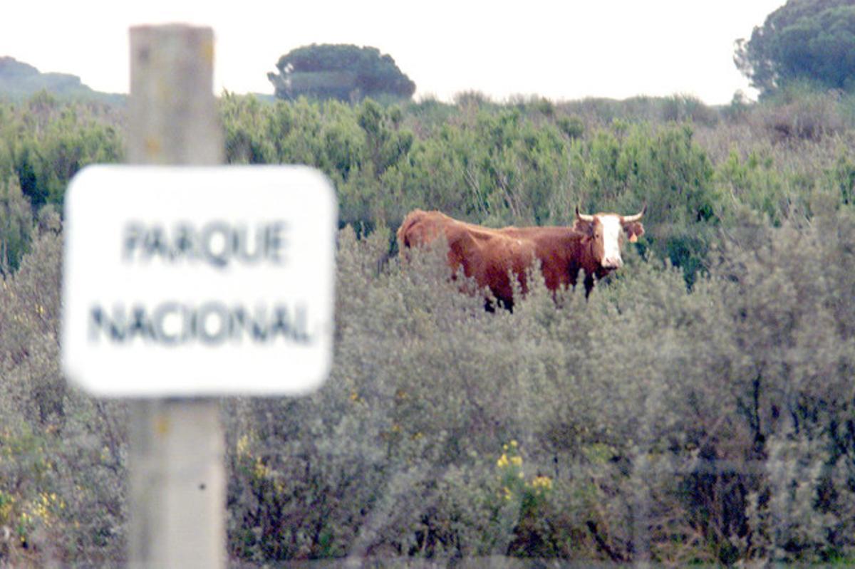 Una vaca mostrenca en el parque nacional de Doñana.