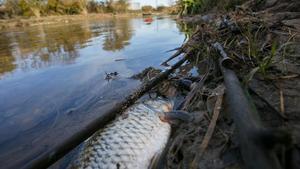 Una carpa muerta en el río Besòs tras el vertido.