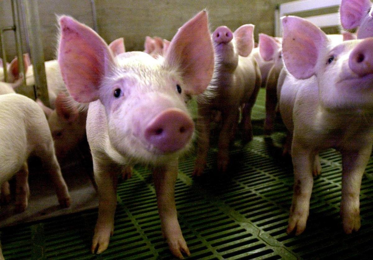Granja porcina.