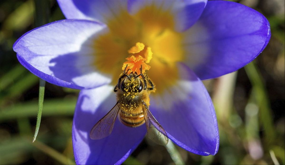Una abeja recolecta polen de un crocus en Timmendorf (Alemania).