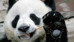 El oso panda embajador de China en Tailandia fallece a los 19 años.