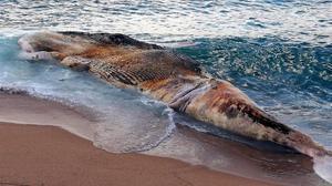 Apareix una balena morta a la costa de Lloret de Mar