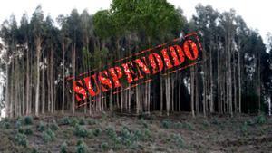 Freno a los eucaliptos en Galicia
