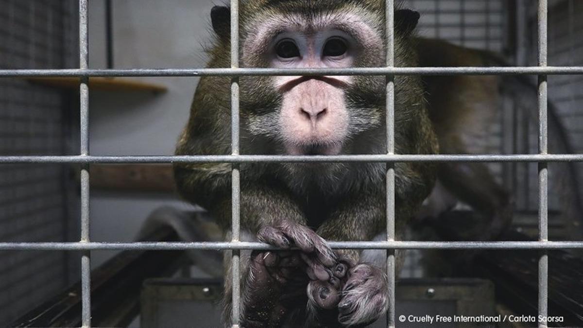 Un mono enjaulado en el laboratorio Vivotecnia de Madrid.