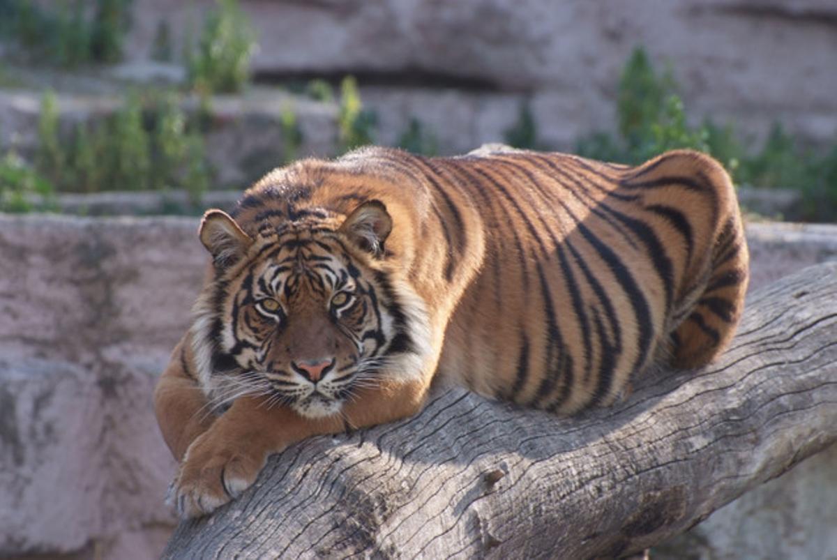 Un tigre del Zoo de Barcelona.