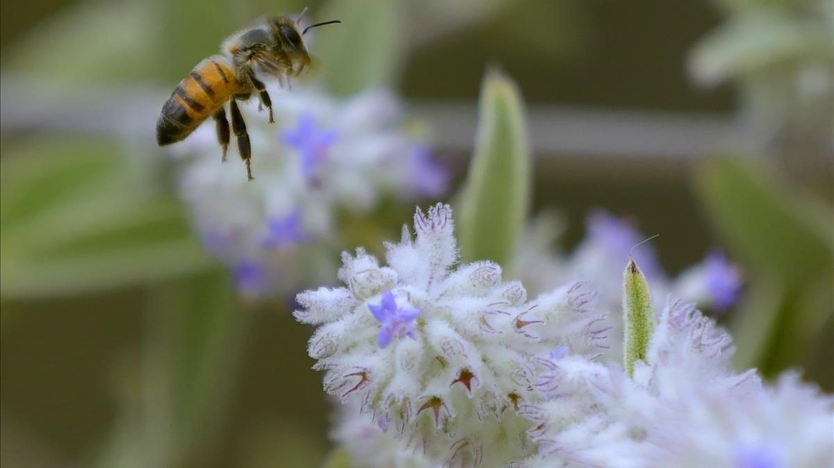 Una abeja se aproxima a una flor en el municipio de Zapopan, en el estado de Jalisco (México).